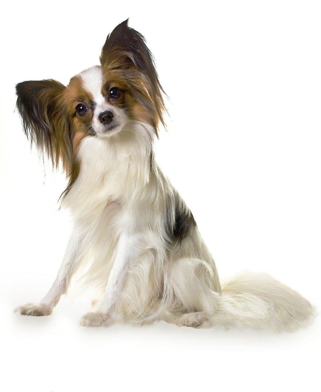 papillon, dog, animal-274181.jpg